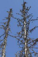 ¿Qué bichos atacar y matar a árboles de hoja perenne?