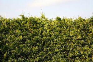 Arbustos de coníferas
