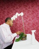 ¿Por qué consiguen lánguidas hojas de orquídea?