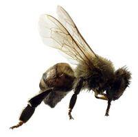 ¿Cómo pasar las abejas de una piscina sin matarlos