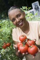 Bolsas protectoras para las plantas de tomate