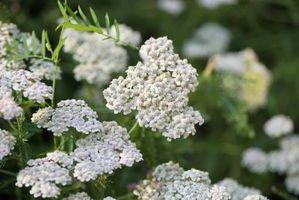 ¿Qué es flor de milenrama?