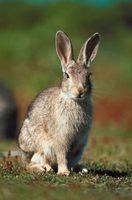 Cómo utilizar la harina de huesos para Mantenga alejados a los conejos