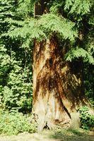 ¿Asesino de malezas de hoja ancha dañarán árboles de cedro?