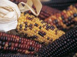 ¿Es maíz Ornamental de una planta perenne o anual?
