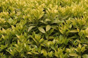 Arbustos perennes para cortavientos