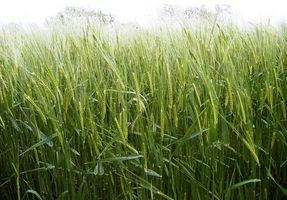 Cómo agua Rye Grass