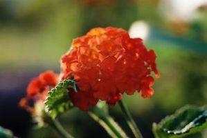 ¿Sea primavera u otoño mejor para plantar plantas de Lantana?