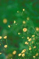 Herbicidas que matan arrastramiento ranúnculo