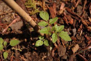Cómo cultivar tomates y calabacín de la semilla