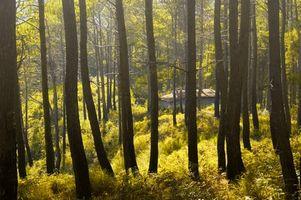 Diferentes tipos de madera de pino