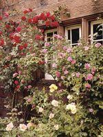 Cómo naturalmente matar pulgones en arbustos color de rosa
