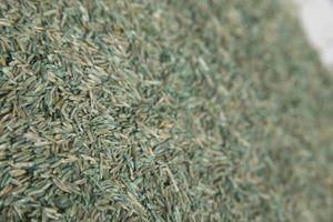 ¿Cuánto tiempo durará la semilla de la hierba sin abrir?