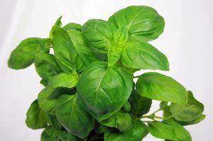Pesticidas orgánicos para plantas de tomate