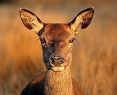 ¿Cómo deshacerse de los ciervos de un jardín