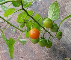 ¿Que tipo de suelo afecta el crecimiento de una planta de tomate más?