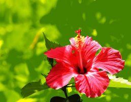 ¿Pueden vivir las plantas Hibiscus en luz sol directa?