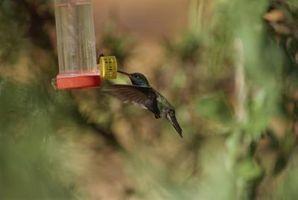 ¿Cuándo dejar de alimentar colibríes?