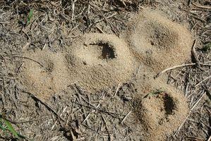 Remedio casero para deshacerse de las colinas de la hormiga