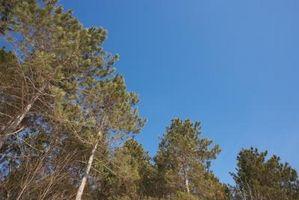 Lo que debe saber sobre pinos