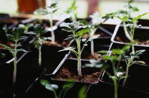 ¿Cómo plantar las raíces de tomate con el periódico