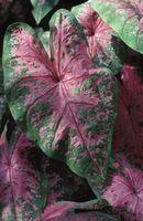 Mis hojas de Caladium recurren marrón