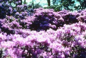 Cómo matar arbustos Azalea