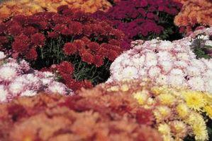 Variedades de la flor de crisantemo