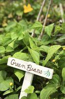 Cómo cultivar judías verdes y guisantes rápidos en cestas colgantes