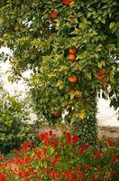 Cuando plantar semillas de naranja