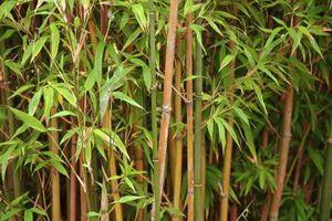 ¿Tan frecuentemente usted Riegue las plantas de bambú?