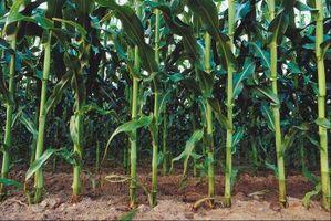 Cómo cultivar maíz Reina plata