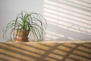Cómo matar chinches alrededor de las plantas de interior
