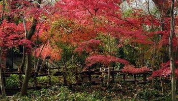 Arce japonés compañero plantas