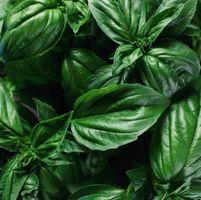 Insectos en las plantas de albahaca