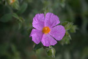 Cómo cultivar la Mandevilla Parra flores
