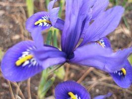 Datos sobre la flor de Iris