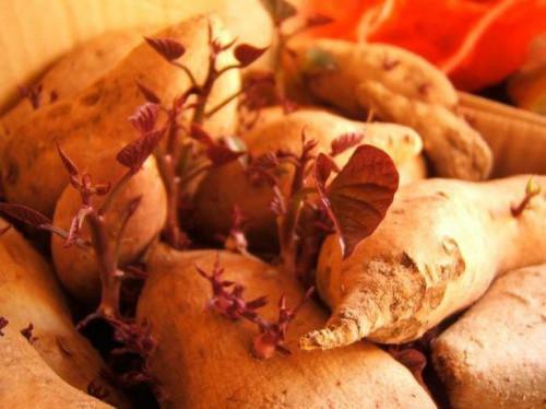 Cómo hacer crecer una vid de la patata dulce
