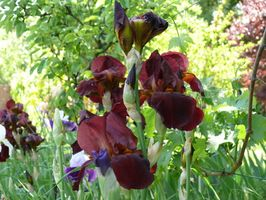 Compañero de la plantas plantas de Iris