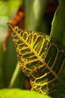 Lista de especies de Croton
