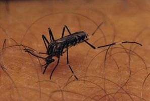 Hierbas perennes y los mosquitos