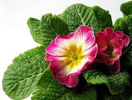 Cómo cultivar Hardy Primrose como una planta de la casa