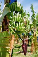 Cómo identificar los tipos de plantas de plátano