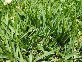 ¿Con qué frecuencia debe usted agua St. Augustine Grass?
