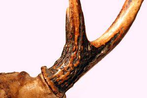 Cómo taladrar agujeros en las cornamentas de los ciervos para lámparas