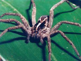 ¿Cómo deshacerse naturalmente de las arañas del lobo
