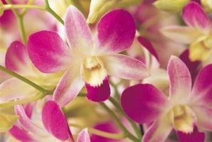 Cómo cuidar una orquídea de la polilla