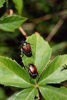 ¿Qué escarabajos japoneses productos químicos matan?