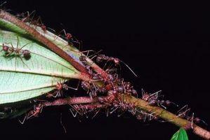 ¿Cómo deshacerse de las hormigas y hormigueros de la hormiga