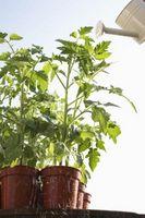 Cómo cultivar tomates en macetas, en el norte de Virginia